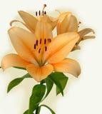 lily pomarańcze Zdjęcia Stock