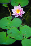 Lily in Pond Royalty Free Stock Photography
