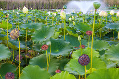 Lily Pond Stock Image