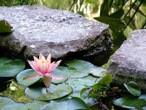 The Lily Pond. A pond lily sits among some stepping stones through a pond Royalty Free Stock Photography
