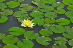 Lily Pond. Water lily pond blossoming in the summer Stock Photos