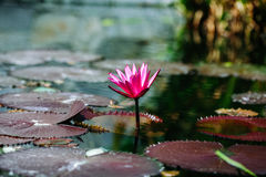 Lily Pond with Amazing Colors Stock Images