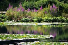 A Lily Pond !!!. The beautiful reflections of purple flowers in a hidden lily pond of light pink lilies !!! Simply breathtakingly beautiful royalty free stock images