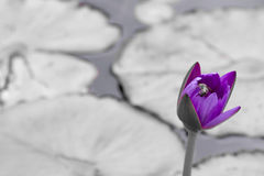 Lily Pond Stock Photography