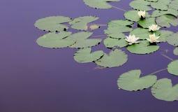 Lily pond Bosherston Stock Photography