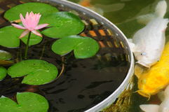 Lily pond with fish Stock Images