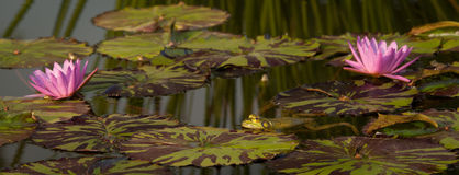 Lily Pond with frogs Royalty Free Stock Images