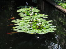 Lily Pond - Jim Thompson House Bangkok Royaltyfri Fotografi