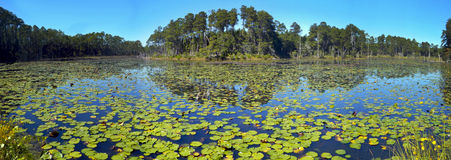 Lily Pond Lake - Freeport Florida. A lake full of Lily pads fill the freshwater area surrounded by forest in a panoramic scenic along highway 3280 or Black Creek royalty free stock images