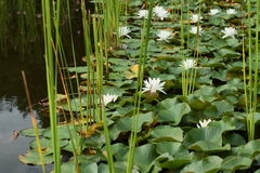 Lily Pond With Lotus Flowers stock afbeeldingen