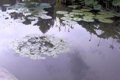 Lily Pond. Lily pads and reflections in the pond Royalty Free Stock Image