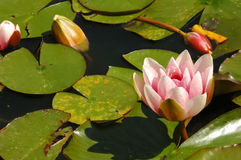 Lily pond Royalty Free Stock Photo