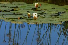 Lily pond and reflections in summer stock photos