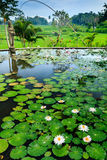 Lily Pond and Rice Terraces Royalty Free Stock Photo