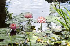 Lily Pond. Three pink water lilies blooming in a still pond Royalty Free Stock Photo