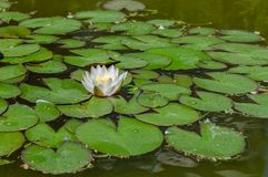 Lily in a pond. On water Royalty Free Stock Image
