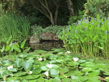 Lily pond. Water lilies in a pond with other plants Royalty Free Stock Image