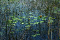 Free Lily Pond With Vivid Blue Sky Reflection And Green Colors Stock Photos - 49134613