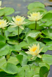 Lily in pond Royalty Free Stock Photos
