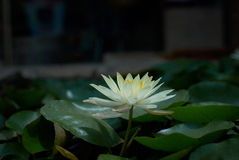 Lily in a pond Royalty Free Stock Images
