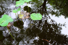 Lily ponds with rain droplets on the surface Stock Image
