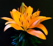 Lily Portrait asiática brilhante Imagem de Stock Royalty Free