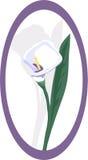lily projektanta kalia Zdjęcie Royalty Free