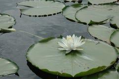 lily protektora Zdjęcia Stock