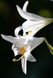 White lily flowers bouquet on black background. It is a quiet summer evening Royalty Free Stock Images