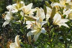 Lily in the rain Stock Photography