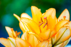 Lily with rain drops Royalty Free Stock Photo