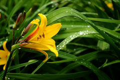Lily after rain. Flower with the drop on blossoms and leaves Stock Photography