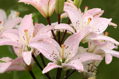 Lily after a rain. Stock Photo