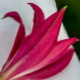 Lily with Raindrops stock images