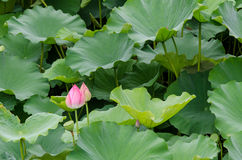 Lily ready to blossom. A lily ready to blossom in a green field Stock Photo