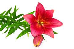 Free Lily Red Royalty Free Stock Photography - 19985827