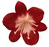 Lily red flower, isolated  with clipping path, on a white background. light pink pistils, stamens. Light-pink center. for design. Royalty Free Stock Image