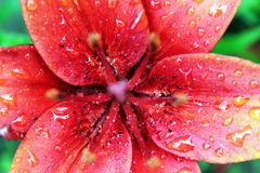 Lily. Red lily after a rain in the summer Stock Photography