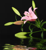 Lily reflected in water. On black stock photos
