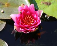 Lily Reflections Royalty-vrije Stock Afbeelding