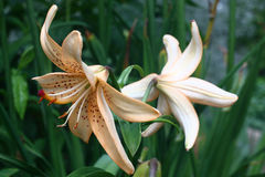 Lily with reflexion. Stock Photos