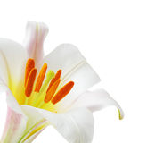 Lily regale trumpet Royalty Free Stock Photo