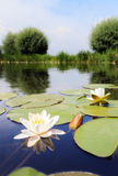 Lily river Stock Photo