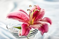 Lily, Romantic Mood Stock Image