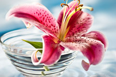 Lily, romantic mood Royalty Free Stock Images