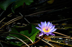 Lily and roots. A purple water lily bath in a ray of light Stock Photography