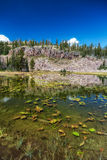 Lily's Floating on a Pond. Lily pads float on a pond in the Unitas national forest in Utah USA in the late summer with almost a clear blue sky and rocky cliffs Royalty Free Stock Photo