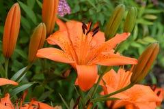 Lily Single Flower asiática anaranjada Imagen de archivo