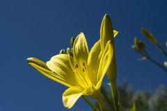 Lily and sky. Yellow lily flower on sky background Stock Image