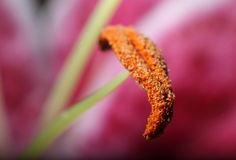 Lily stamen Royalty Free Stock Photography